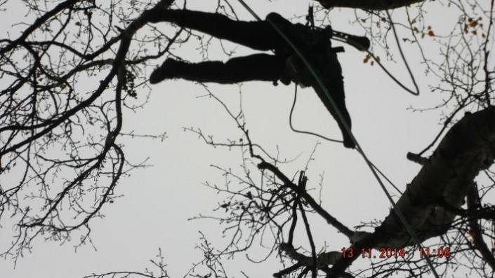 Einkürzung Pappel - Baumpflege Astrein Berlin